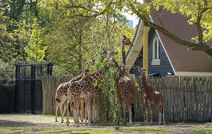 Giraffe feeding posts, Blijdorp Zoo